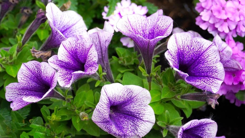 Этим летом на клумбах Новосибирска зацветут лобулярии, целлозии и кохии