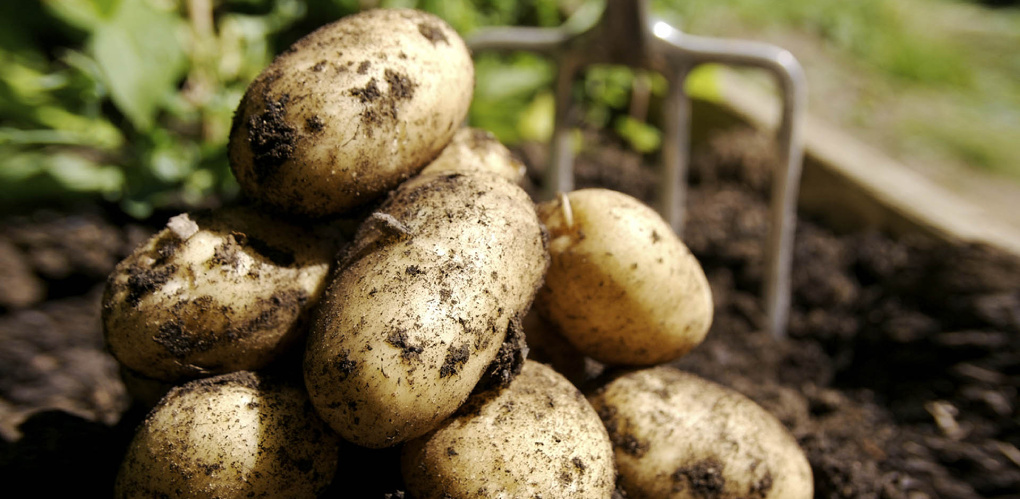 В Омске за месяц на треть подорожал картофель