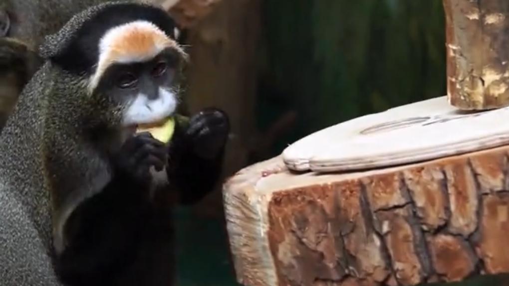Новосибирский зоопарк показал забавное видео из жизни мартышек в самоизоляции