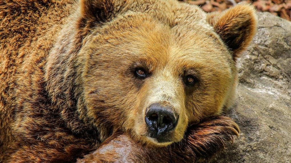 В Новосибирском зоопарке за 95 млн рублей реконструируют вольер для медведей по европейским стандартам