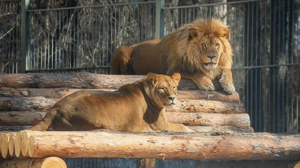 Новосибирский зоопарк показал влюбленных львов