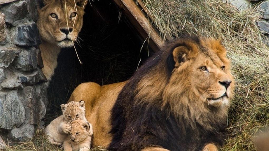 В Новосибирском зоопарке рассказали историю про львов, которая 20 лет назад прогремела на весь мир