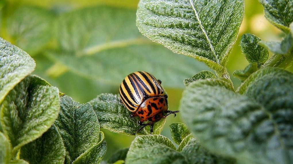 Молодой омич на самоизоляции принял средство против колорадского жука