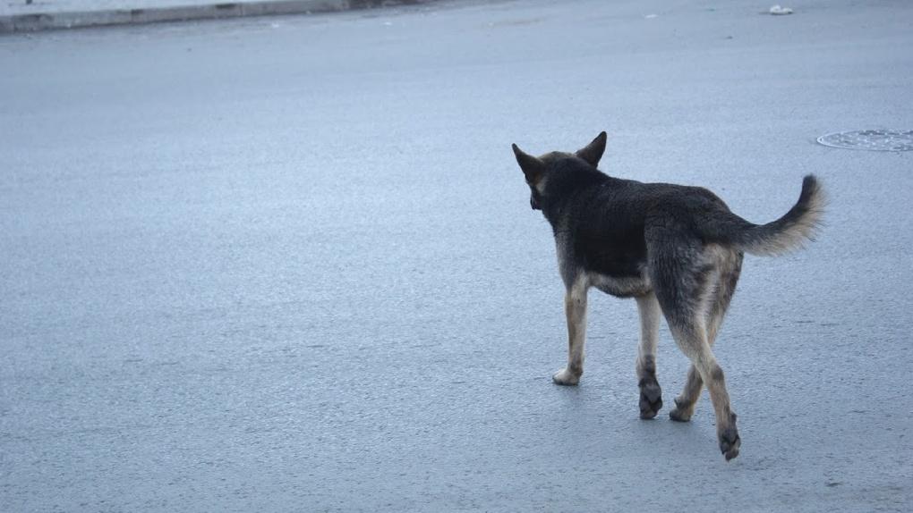 Лежала в крови под палящим солнцем. В Омске собаку избили палкой с гвоздями и бросили умирать