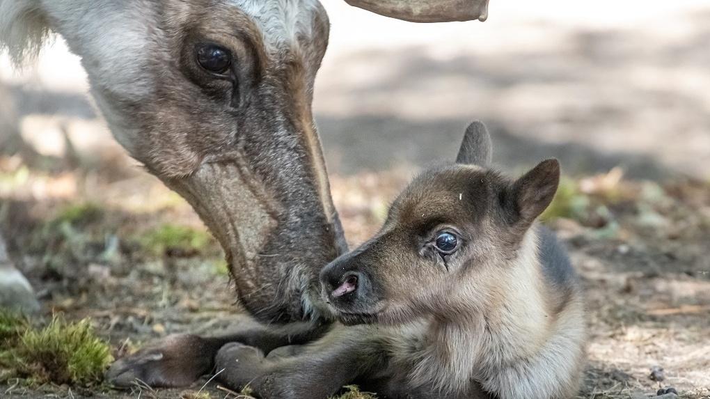 В Новосибирском зоопарке показали трогательное видео с маленькими лосями и оленями