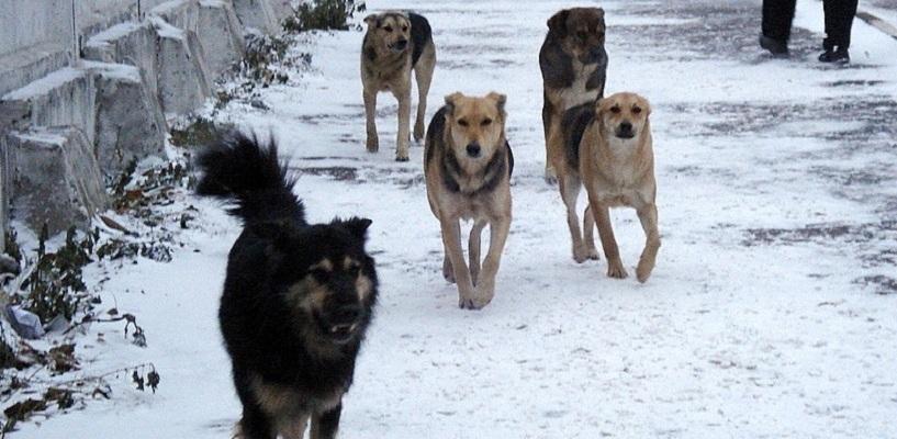 В Омске стая бродячих собак нападает на прохожих