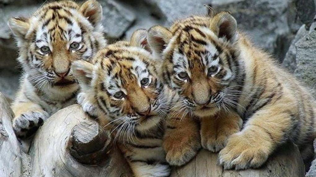В Новосибирском зоопарке родились 25 тигрят