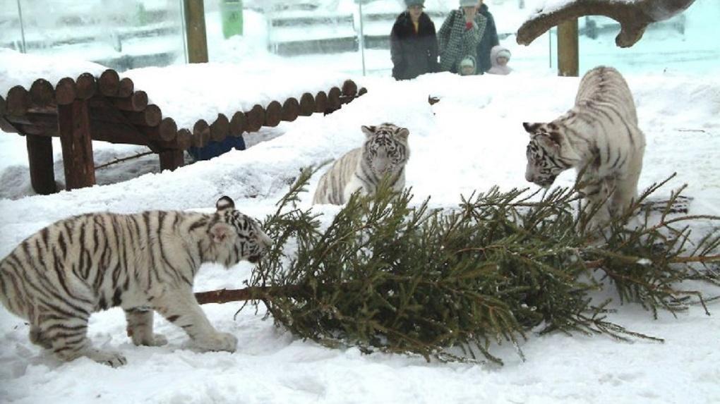 Омичам предлагают сдавать новогодние елки в Большереченский зоопарк