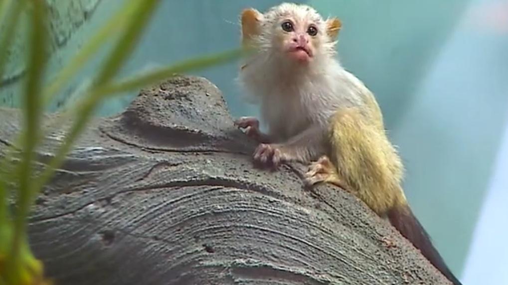 «Камедь превращают в мед»: Новосибирский зоопарк рассказал о необычном рационе питания обезьян
