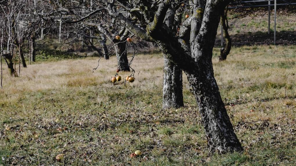 Как уберечь яблони от грызунов и что нужно успеть в октябре Советы новосибирского агронома