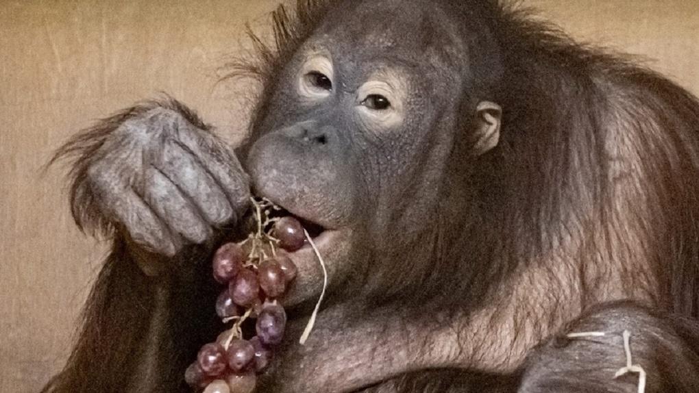 В Новосибирском зоопарке рассказали трогательную историю любви двух обезьян