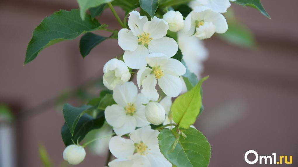 Результат богатого урожая: в Новосибирской области массово гибнут яблони