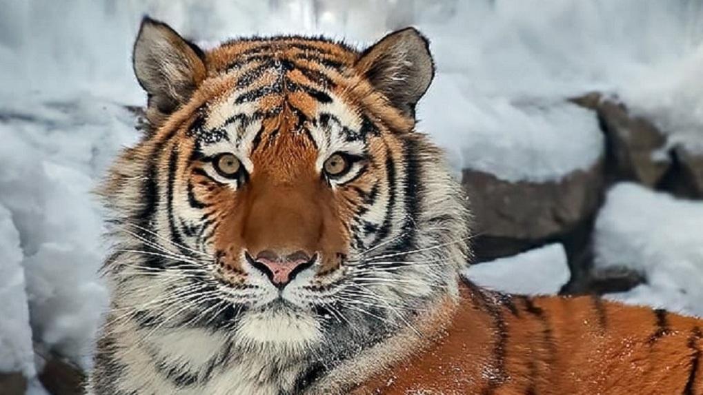 Новосибирский тигр-пенсионер отпраздновал день рождения