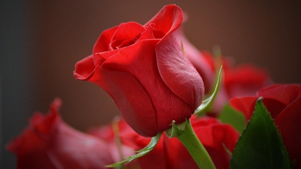 К 8 Марта в Новосибирск завезли более 4000 опасных роз и гвоздик