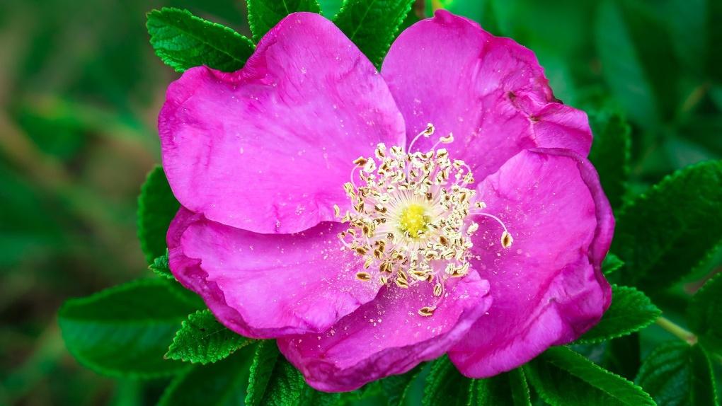 Розы с морщинами высадили в сквере за новосибирским оперным театром