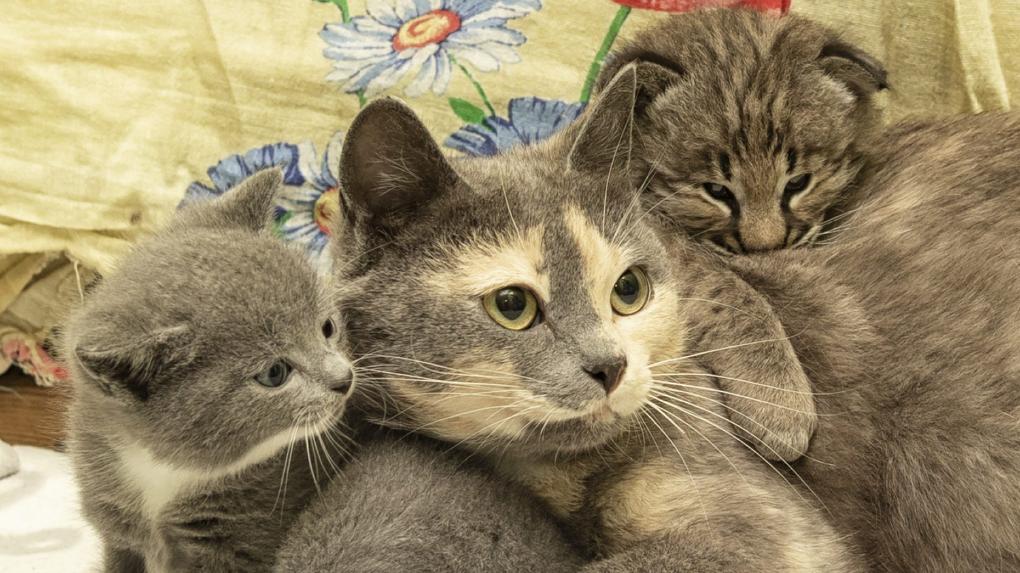 В Новосибирском зоопарке обычная кошка заботится о детёныше рыси