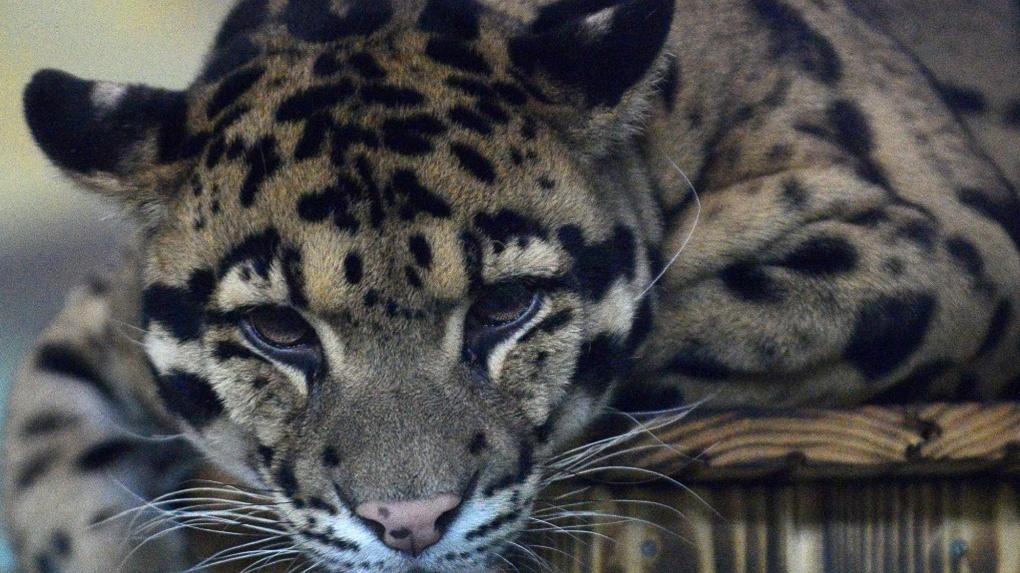 В Новосибирском зоопарке рассказали, как самка дымчатого леопарда разбила сердце возлюбленного