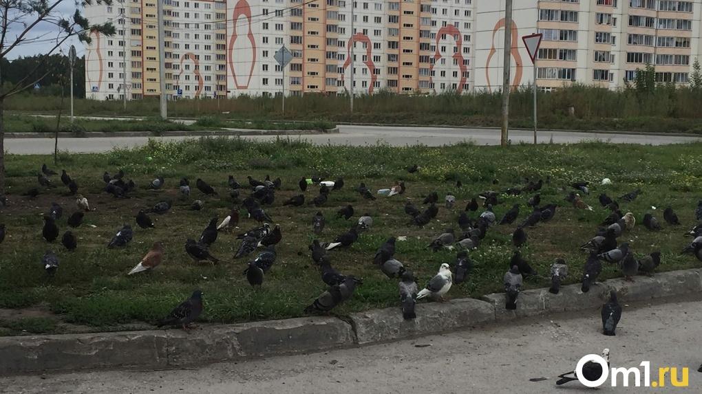 Нашествие голубей заметили в новосибирском жилкомплексе