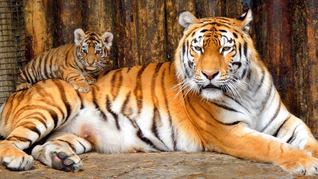 Омичи дали имя тигренку из Большереченского зоопарка