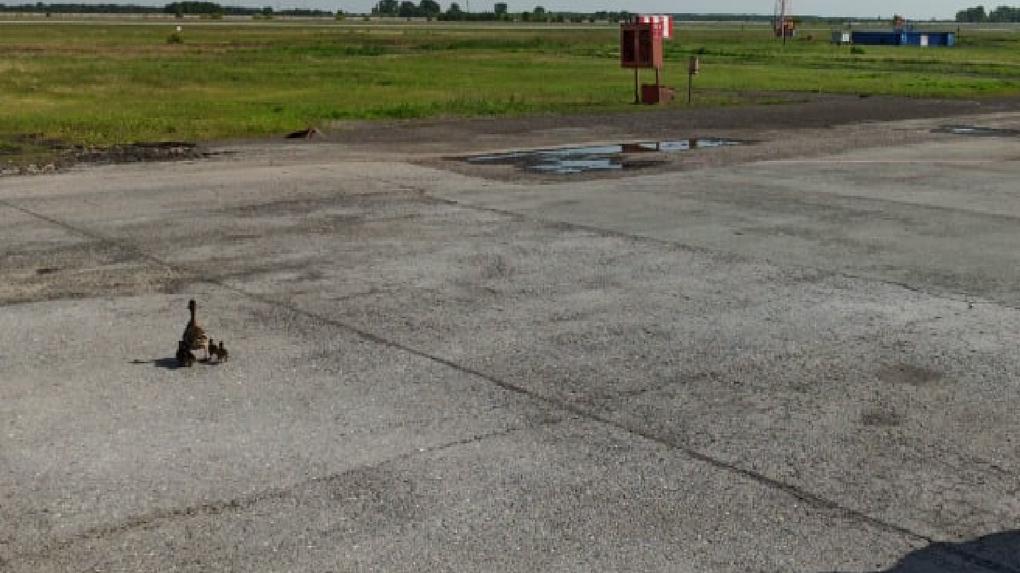 «Даже утка хочет в отпуск»: в аэропорту Новосибирска произошел забавный случай