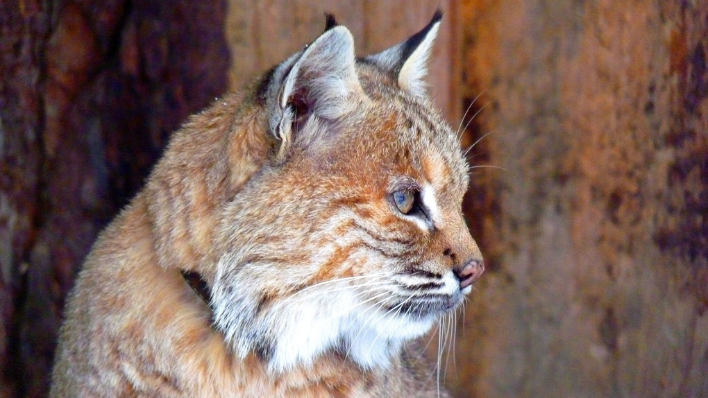 Неспящие любители зимы из Большереченского зоопарка радуются зиме – ФОТО