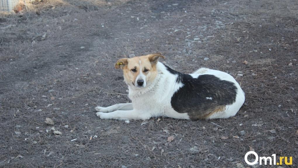 У пса отказали задние лапы: в Омске во время отлова собак снова применяют жестокие методы