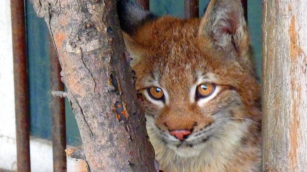 Омский зоопарк пополнили рыси и макаки