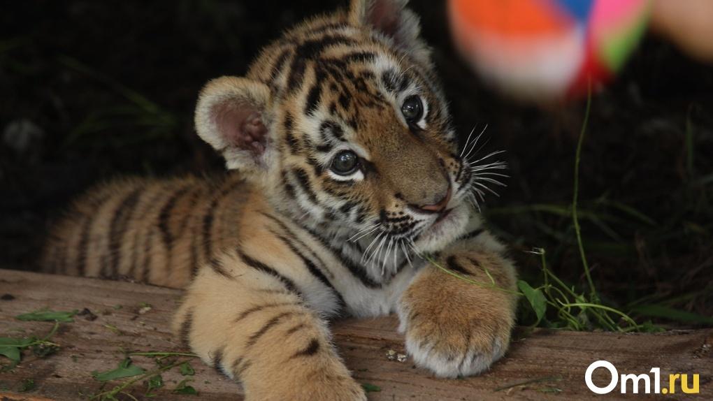 В гости к тигру Шаману и медведице Гуле. Готовы ли вы к открытию зоопарка в Большеречье?