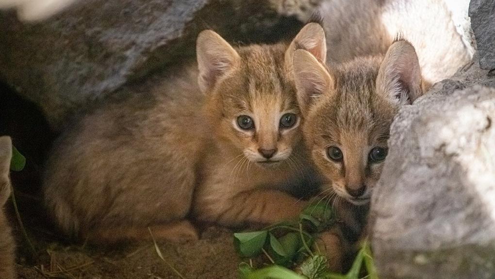 В Новосибирском зоопарке родились четыре камышовых котенка и семеро сервалов