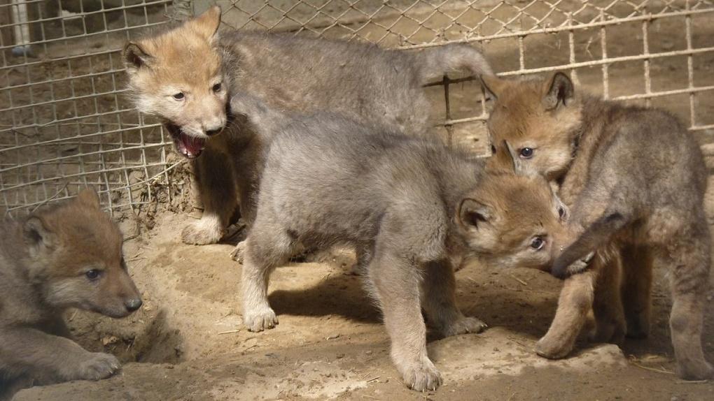 Волчат из Большереченского зоопарка скрестят с лайками
