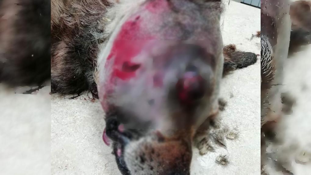 «Её раны уже пожирали опарыши»: раненую собаку выкинули на помойку в Новосибирске