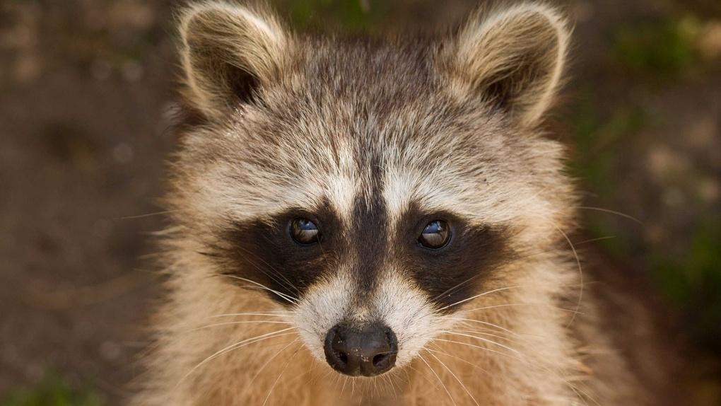 В Большереченском зоопарке появились детёныши енотов и барсуков