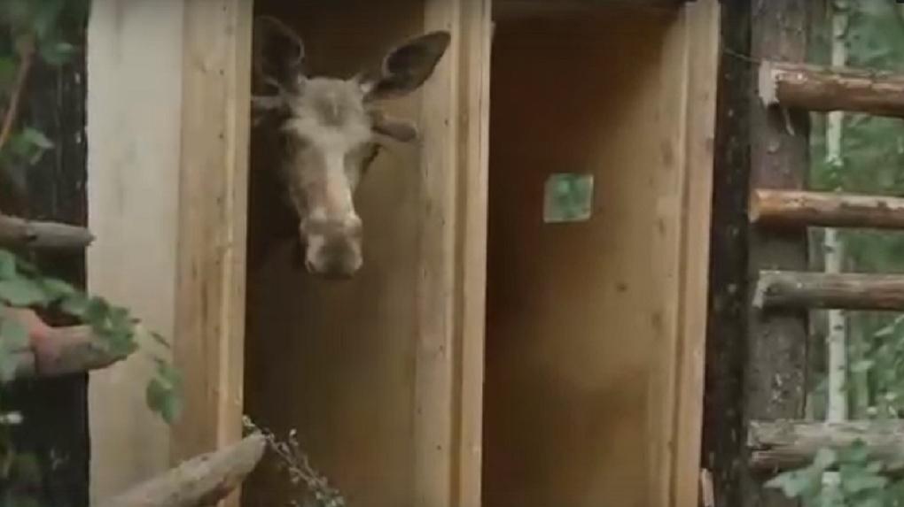 Видео: лосей Новосибирского зоопарка выпустили на свободу