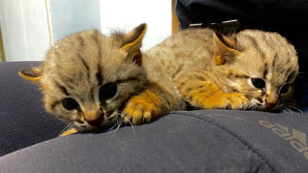 В Новосибирском зоопарке впервые родились ржавые котята