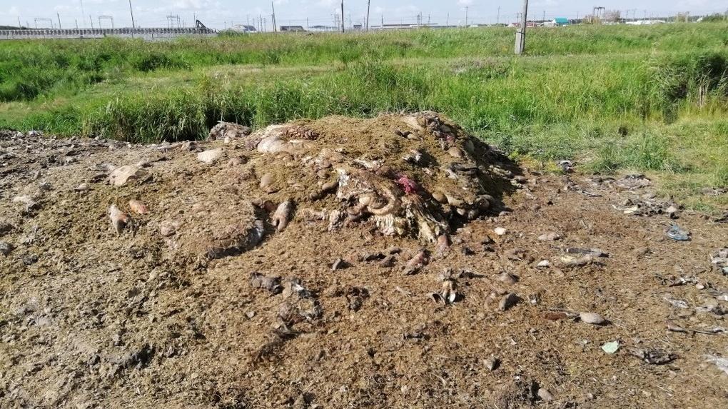 Запах тухлятины как в фильме ужасов: трупы скота гниют под палящим солнцем в Новосибирской области