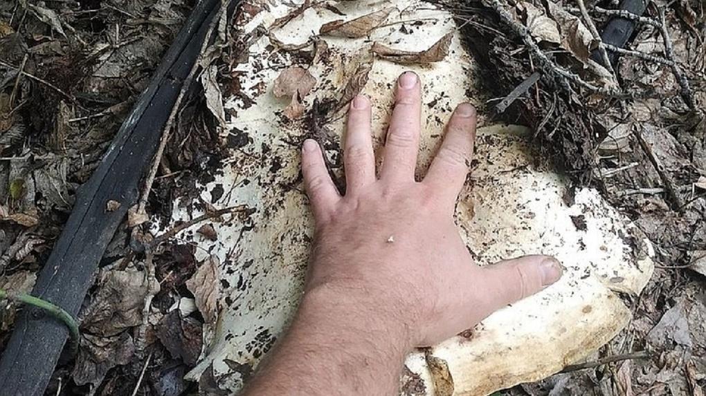 «Груздь-переросток»: новосибирец нашёл гигантский гриб