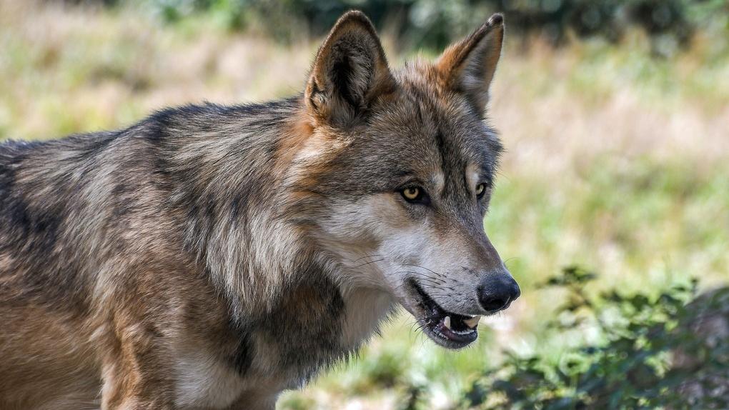 Волки нападают на домашний скот. Популяция хищников в Омской области стремительно растет