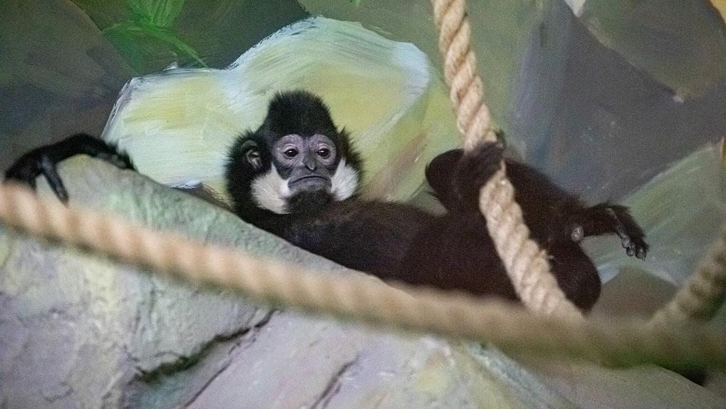 Новосибирский зоопарк показал редких поющих обезьян