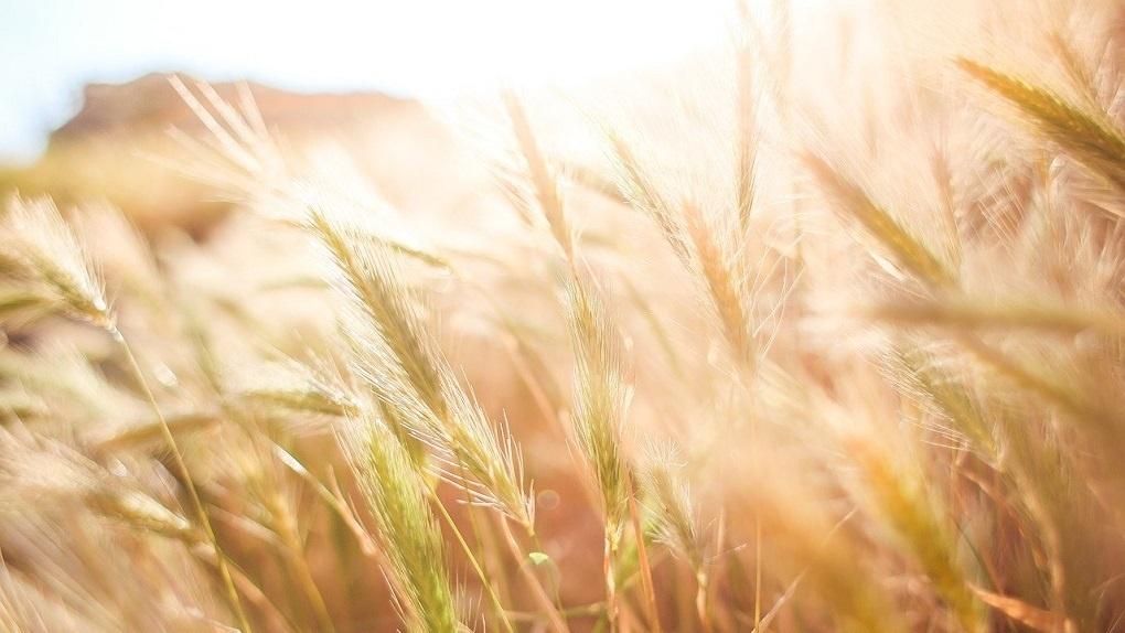 В 13 районах Новосибирской области ввели режим ЧС из-за засухи