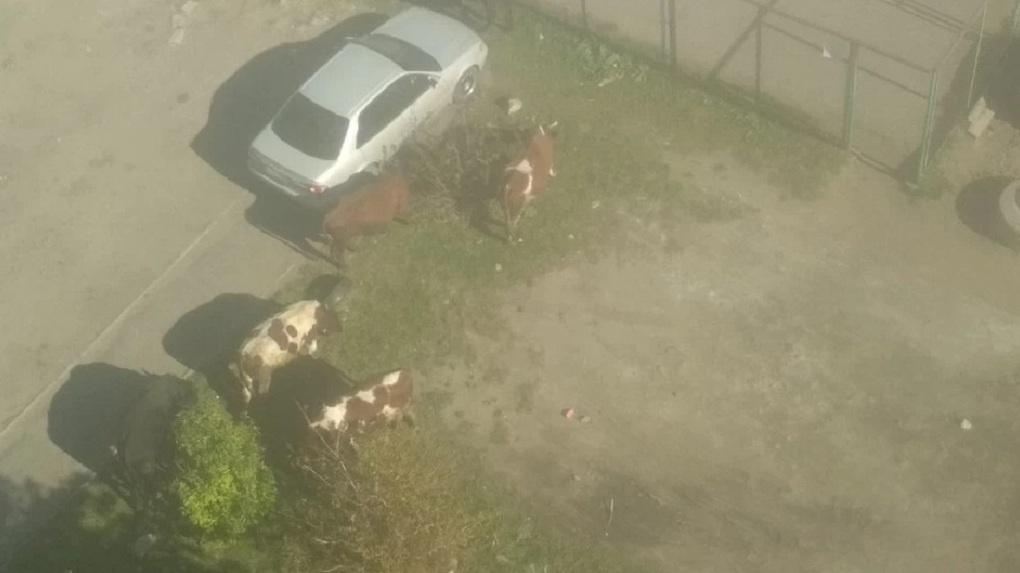 В Омске посреди города заметили семь коров
