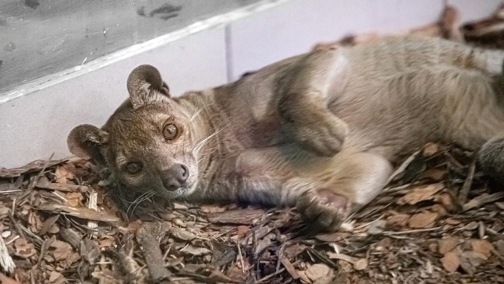 Необычные кошки ржавого цвета поселились в Новосибирском зоопарке