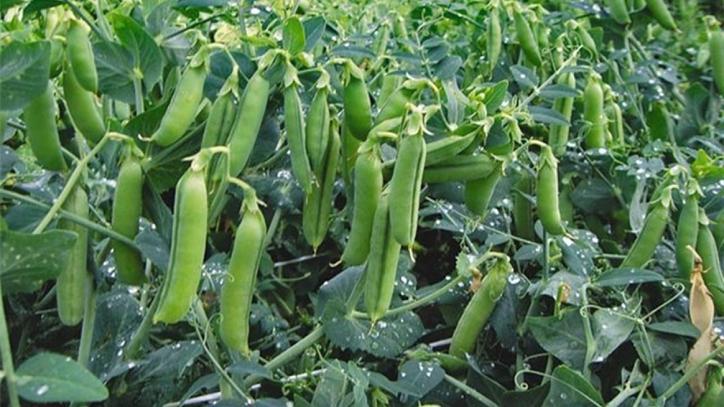 В Омской области собрали 3,4 миллиона тонн урожая