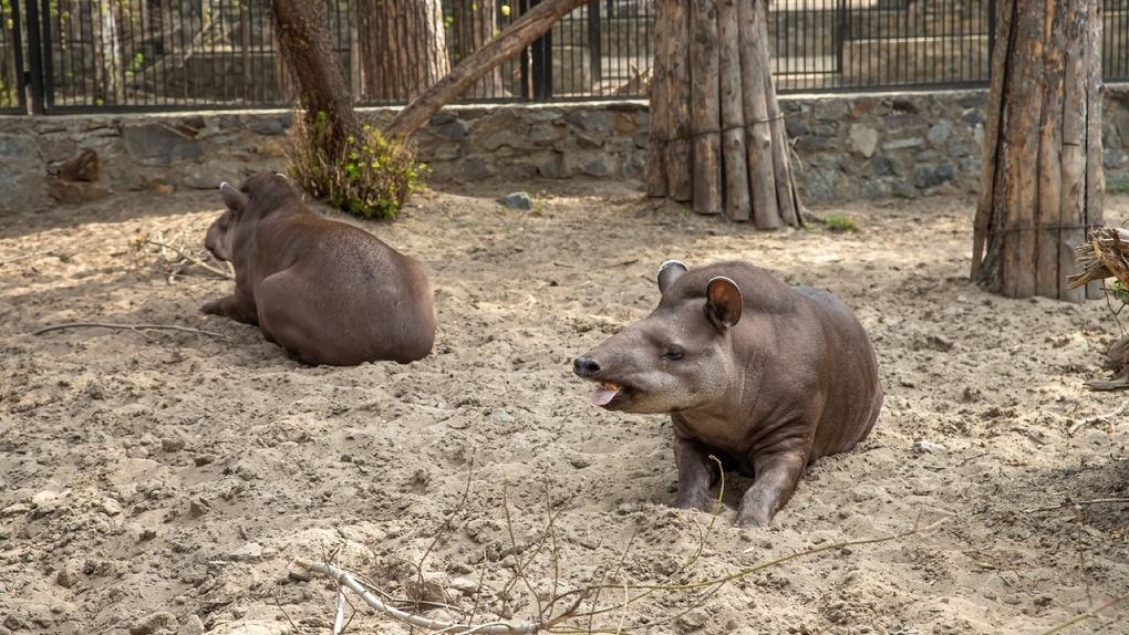 В Новосибирском зоопарке прижились необычные американские свиньи, которые с нетерпением ждут посетителей