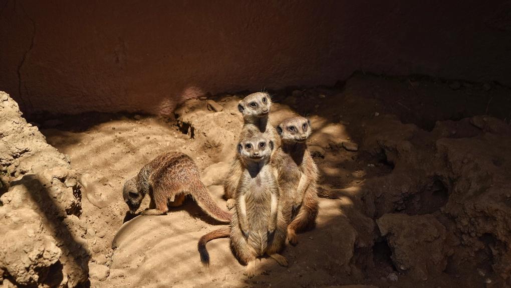 Беби-бум в Большереченском зоопарке. Появились видео с малышами яком и сурикатами