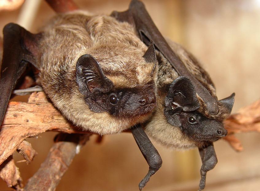 Виды летучих мышей в беларуси с фото