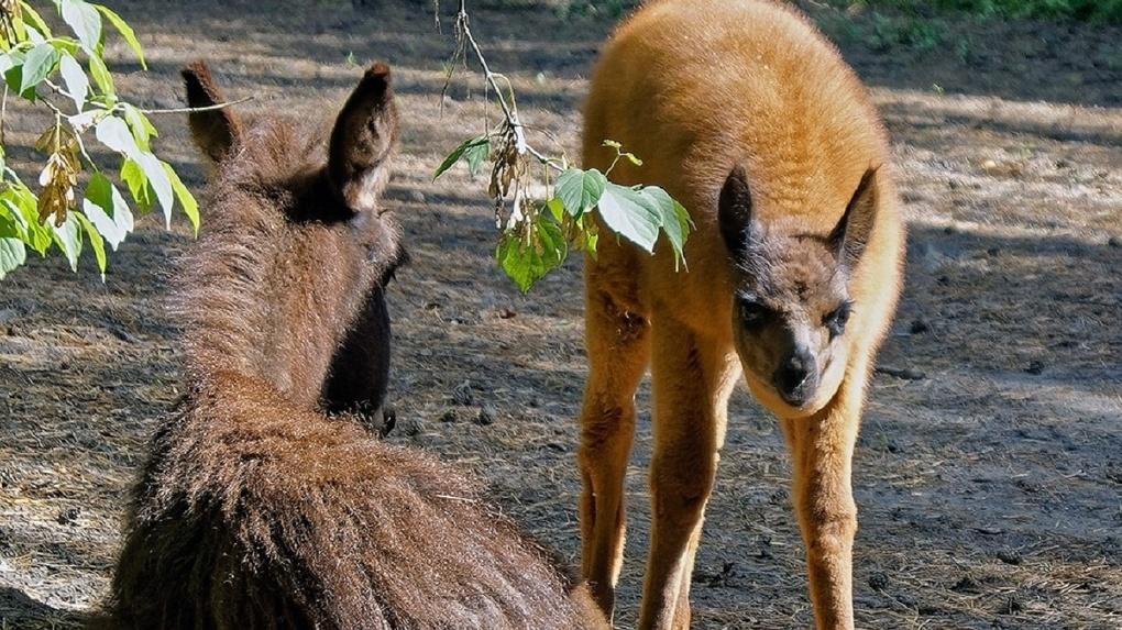 История новой дружбы: новосибирцев умилили игры ламы и ослёнка в местном зоопарке