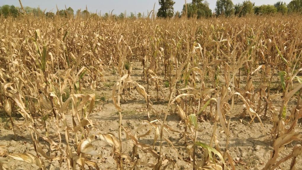 Режим ЧС из-за засухи введут в Новосибирской области