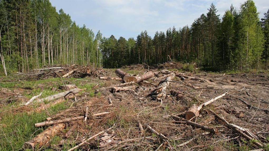 Для постройки шашлычной в Омской области вырубили более 100 деревьев
