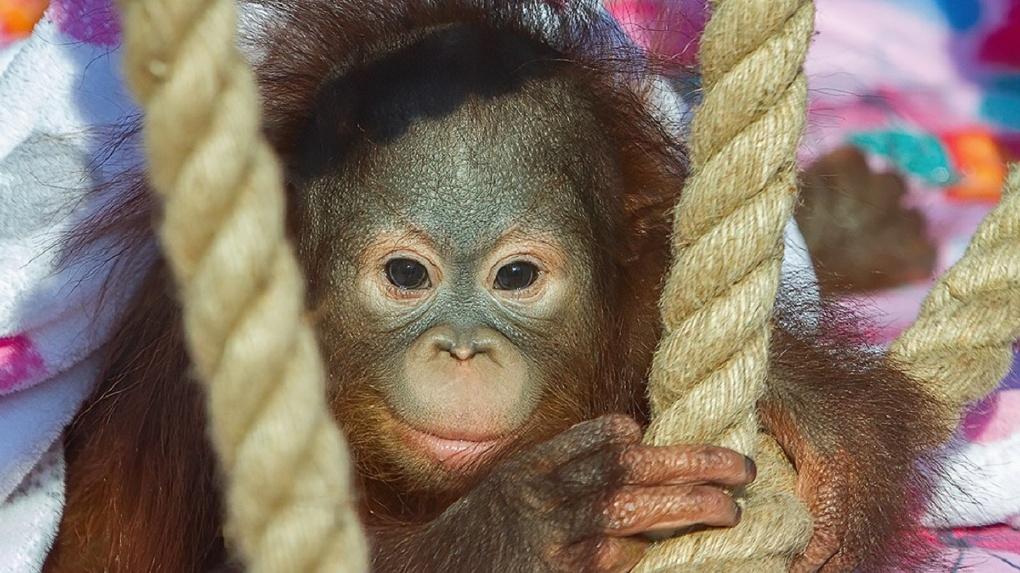 Орангутанга Джулию познакомили с кровными родителями в Новосибирском зоопарке