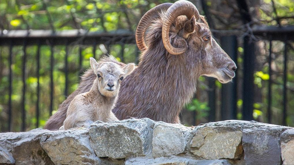 «Животные на грани исчезновения»: в Новосибирском зоопарке родился редкий баран